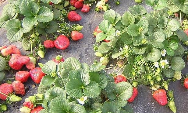 Обустройство агроволоконной грядки под клубнику