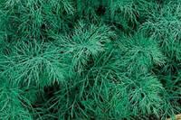 Семена укропа Лесногородский весовые