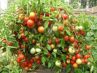 Томат Бинго F1 ранний  гибрид низкорослого томата для соления и консервирования