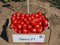 Раннеспелый гибрид  кустового томата для переработки на томат пасту, сок и другие томат продукты Лампо F1