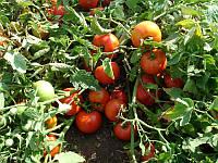 Ранний высокоурожайный гибрид  кустового томата для употребления в свежем виде и транспортировки Шеди Леди F1