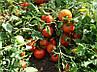 Низькорослі томати Шеди Леді F1-ранній високоврожайний гібрид кущового томата для транспортування, фото 3