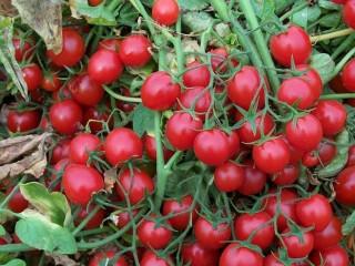 Томат черри Стромболино F1 ранний высокоурожайный гибрид низкорослого томата типа Черри