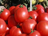 Суперранний высокопродуктивный кустовой гибрид для открытого грунта с округлыми ярко красными плодами Скиф F1