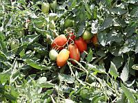 Семена раннего высокоурожайного кустового гибрида томата для переработки и употребления в свежем виде Инкас F1