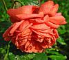 Роза Саммер Сонг.  Английская роза.