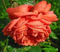 Роза Саммер Сонг. Английская роза. (с)