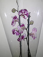 Орхідея фіолетова