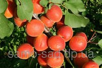Окулянты абрикоса Цунами