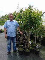 Магнолия - Magnolia Leonard Messel (высота 60-80см, горшок 5л)