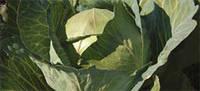 Капуста білоголова серед./стигла,Глорія F1, (2500семян), Syngenta, Швейцарія