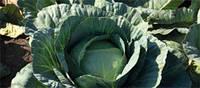 Насіння капусти білоголової сер./пізньої, Адаптор F1, (2500семян), Syngenta, Швейцарія
