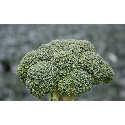 Семена капусты Корос F1 (Clause), 2500 семян — ранняя (55-65 дней), брокколи мин, фото 2