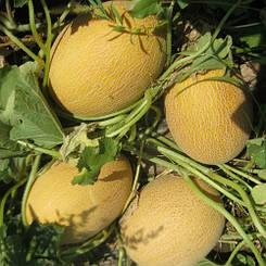 Дыня Кредо F1 семена раннего продуктивного гибрида с отличным потенциалом завязывания плодов 8 шт