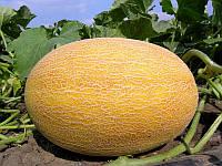 Дыня Голди F1 семена раннеспелого гибрида с отличной урожайностью, медовым вкусом и стойкостью к заболеваниям