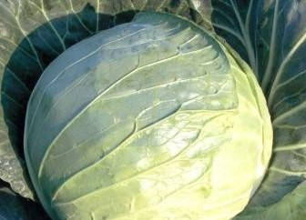 Семена капусты Кубок F1 (Clause), 2500 семян — средняя (85-90 дней), белокочанная, фото 2