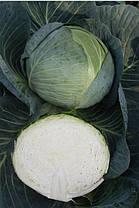 Семена капусты Центурион F1 (Clause), 2500 семян — средне-поздняя (100-110 дней), белокочанная, фото 2