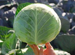 Семена капусты Бригадир F1 (Clause), 10000 семян — средне-поздняя (110-120 дней), белокочанная , фото 2