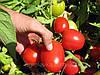 Семена томата индетерминантного КРИСТАЛ F1, (5 гр.), Clause, Франция