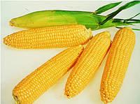 Кукуруза сахарная ЛЕЖЕНД F1 ,(1 кг.), Clause, Франция