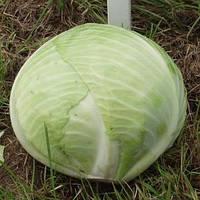Семена капусты Б/К поздняя для длительного хранения КАУНТ F1 (2500 сем.), Elisem, Франция