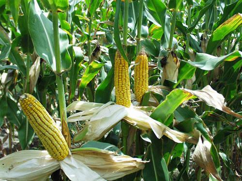 Семена кукурузы ДН Аквазор