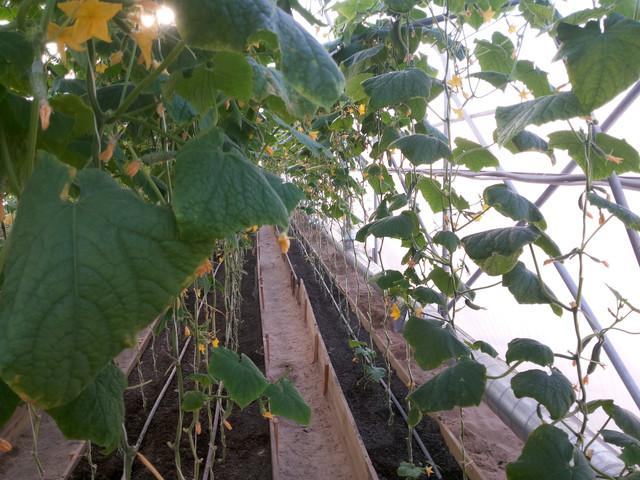 урожай в теплице Митлайдера