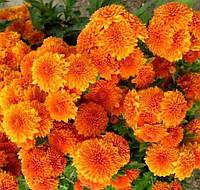 Хризантема корейская Амбрия, фото 1