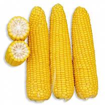 Семена сахарной кукурузы Добрыня F1, 25.000 семян. Ранняя, суперсладкая — №1 в Украине , фото 3