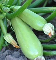 Семена кабачка Муфаса F1 (Lark Seeds), 500 г — мультивирусо устойчивый , 45-48 дн, фото 3