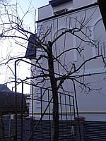 Обрізка плодових дерев.