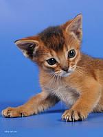 Абиссинские котята