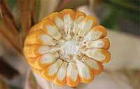 Семена кукурузы Дельфин ФАО 190