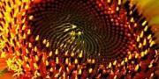 Семена подсолнечника СИ Эденис (обработан Круизером)