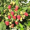 Саженцы малины сорт Джоан Джей, пакет 1.2 л