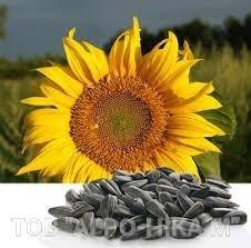Семена подсолнечника СИ Ласкала (обработан Круизером)