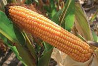 Семена кукурузы ЕC Палацио ФАО 220