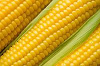 Насіння кукурудзи стандарт Муасон Семенс Франція.