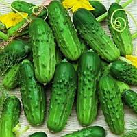 Семена огурцов сорт Нежинский весом 1 кг