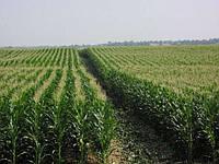 Насіння кукурудзи екстра Порумбень 351АСВ Молдова