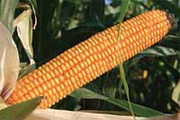 Семена кукурузы ЕC Битл ФАО 240