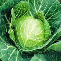 Семена капусты Санторино F1 2500 семян (Syngenta) - ранний гибрид (58-62 дня), белокочанная.