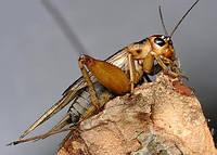 Кормовые насекомые. Банановый сверчок