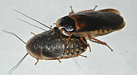 Кормовые насекомые. Таракан Дубия
