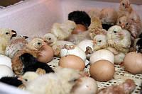 Кормовые суточные цыплята ( заморозка)