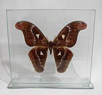 Сувенир - Бабочка под стеклом Attacus atlas