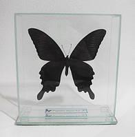 Сувенир - Бабочка под стеклом Papilio maackii