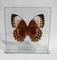 Сувенир - Бабочка под стеклом Stichophthalma louisa