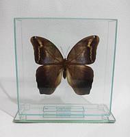 Сувенир - Бабочка под стеклом Eryphanis polyxena