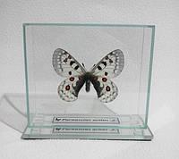 Сувенир - Бабочка под стеклом Parnassius actius